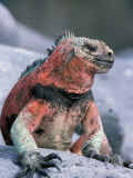 Marine Iguanas During Mating Season, Espanola Island, Galapagos Islands, Ecuador Fotografie-Druck von Hugh Rose