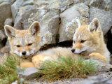 Patagonia Fox, Torres del Paine National Park, Chile Fotografisk tryk af Gavriel Jecan