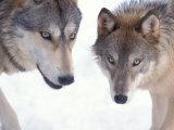 Gray Wolf in Foothills of the Takshanuk Mountains, Alaska, USA Fotoprint van Steve Kazlowski