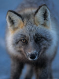 Red Fox on North Slope of Brooks Range, Alaska, USA Stampa fotografica di Steve Kazlowski