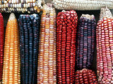 Varieties of Corn that Lacandons Grow in Their Milpas, Selva Lacandona, Naha, Chiapas, Mexico Photographic Print by Russell Gordon