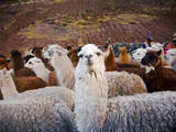 Llama and Alpaca Herd, Lares Valley, Cordillera Urubamba, Peru Fotografisk tryk af Kristin Piljay