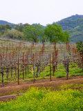 Vineyards in Early Spring, Sonoma Valley, California, USA Lámina fotográfica por Julie Eggers