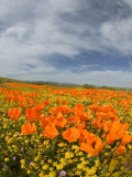 Road through Poppies, Antelope Valley, California, USA Photographic Print by Terry Eggers