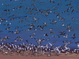 Eastern Curlew (Numenius Madagascariens) at Roebuck Bay Near Broome, Australia Photographic Print by Mitch Reardon