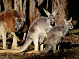 Male, Female and Joey Red Kangaroos (Macropus Rufus), Australia Photographic Print by Mitch Reardon
