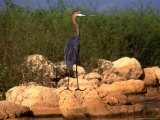 Goliath Heron (Ardea Goliath) at Lake Kariba, Mashonaland West, Zimbabwe Photographic Print by Mitch Reardon