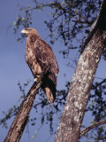 Tawny Eagle (Aquila Rapax) Perched in Tree, Masai Mara National Reserve, Rift Valley, Kenya Photographic Print by Mitch Reardon