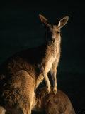 Kangaroo at Night, Anglesea, Australia Reproduction photographique par John Banagan