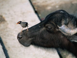 Buffalo with Common Myna (Acridotheres Tristis), Varanasi, India Reproduction photographique par Anders Blomqvist