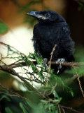 American Crow, British Columbia Fotoprint av Olaf Broders