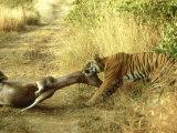 Bengal Tiger, Males Killing Sambar, India Fotografisk tryk af Mike Powles