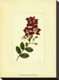 Red Curtis Botanical II Stretched Canvas Print