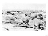Alaska View of 6 huge Polar Bears Hunting Photograph Láminas por  Lantern Press