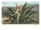 Man Harvesting Maguey Juice for Tequila, Mexico Kunst