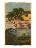 A Torrey Pine, San Diego, California Posters