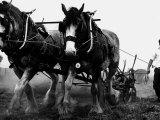 Ulster Clydesdale Pulling a Plough, July 1983 Lámina fotográfica