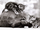 Two Young Kittens Playing with a Slow Moving Giant Tortoise, 1983 Fotografisk tryk