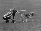 """Ned"" Out on the Golf Course with His Pro in the Special Built Trolley, March 1980 Fotografie-Druck"