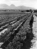 Workers Picking Grapes in Vineyard, Paarl, South Africa, June 1955 Reproduction photographique