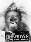 Orangutang, October 1986 Fotografie-Druck