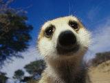 Close View of a Meerkat's Face Fotografisk tryk af Mattias Klum