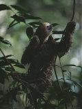 Sloth in Rain Forest Branches Fotografisk tryk af Mattias Klum