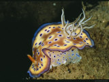 Close View of a Colorful Chromodoris Kuniei Nudibranch Photographic Print by Wolcott Henry