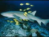 Nurse Shark with Pilot Fish Photographic Print by Wolcott Henry