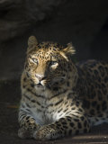 Amur Leopard at the Santa Barbara Zoo Fotografisk trykk av Rich Reid