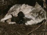 Ten-Day-Old Gray Wolf Pup, Canis Lupus, Nuzzles It's Sitter's Nose Fotografie-Druck von Jim And Jamie Dutcher