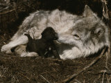 Ten-Day-Old Gray Wolf Pup, Canis Lupus, Nuzzles It's Sitter's Nose Stampa fotografica di Jim And Jamie Dutcher
