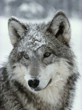 Dusting of Snow Lies on the Face of a Gray Wolf, Canis Lupus プレミアム写真プリント : ジム・アンド・ジェイミー・ダッチャー