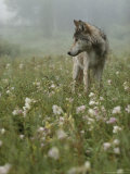 Gray Wolf, Canis Lupus, Standing in a Wildflower Meadow Reproduction photographique par Jim And Jamie Dutcher