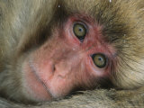Portrait of a Japanese Macaque, or Snow Monkey Fotografisk trykk av Tim Laman
