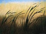 Close View of Windblown Cattails Valokuvavedos tekijänä Raymond Gehman