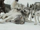 Group of Gray Wolves, Canis Lupus, Rally Together Lámina fotográfica por Jim And Jamie Dutcher