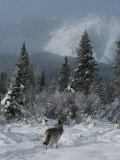 Gray Wolf, Canis Lupus, Passes Through a Snowy Mountain Landscape Reproduction photographique par Jim And Jamie Dutcher