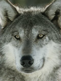 Close View of the Face of a Gray Wolf, Canis Lupus Reproduction photographique par Jim And Jamie Dutcher
