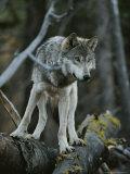 Gray Wolf, Canis Lupus, Walks Along a Fallen Tree Reproduction photographique par Jim And Jamie Dutcher