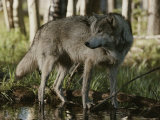 Gray Wolf, Canis Lupus, Stops at a Woodland Stream Reproduction photographique par Jim And Jamie Dutcher