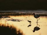 An American Avocet and Her Chick Wade in a Marsh at Sunrise Fotografisk trykk av Roy Toft