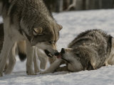 The Alpha Male Gray Wolf, Canis Lupus, Dominates the Omega Wolf Reproduction photographique par Jim And Jamie Dutcher