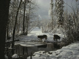 Two Gray Wolves, Canis Lupus, Stop at a Creek in a Snowy Forest Stampa fotografica di Jim And Jamie Dutcher