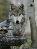 Beautiful Portrait of a Gray Wolf, Canis Lupus Reproduction photographique par Jim And Jamie Dutcher