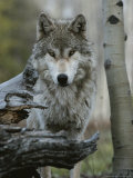 Beautiful Portrait of a Gray Wolf, Canis Lupus Stampa fotografica di Jim And Jamie Dutcher