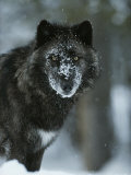 Snow Flakes Cover the Face of a Black-Colored Gray Wolf, Canis Lupus 写真プリント : ジム・アンド・ジェイミー・ダッチャー