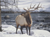 An American Elk, or Wapiti, in the Snow Photographic Print by Michael Melford