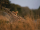 Lion Peers From the Cover of a Large Rock Photographic Print by Kim Wolhuter