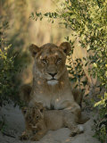 Baby Lion, Panthera Leo, Rests at Its Mother's Feet Photographic Print by Kim Wolhuter